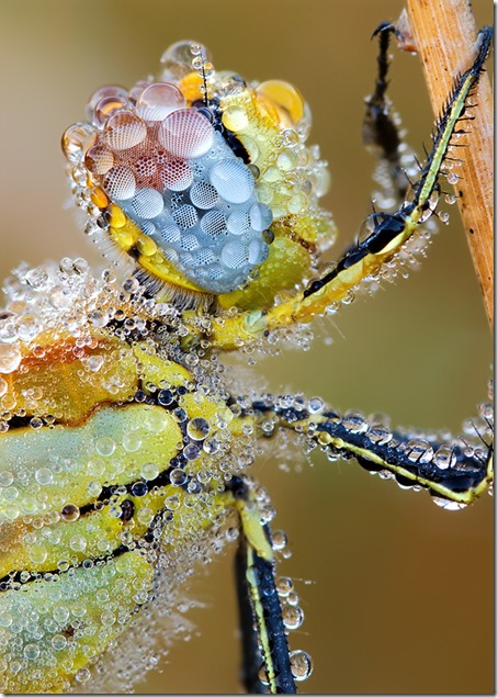 dragonfly-in-dew-original