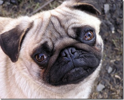 pug-dog-wallpaper-free-download-i