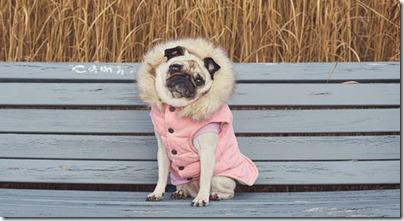 pug-in-pink-coat