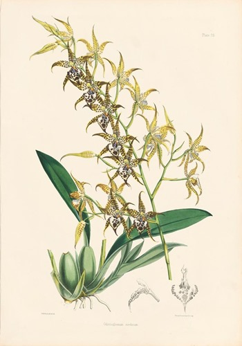 Orchid lithograph