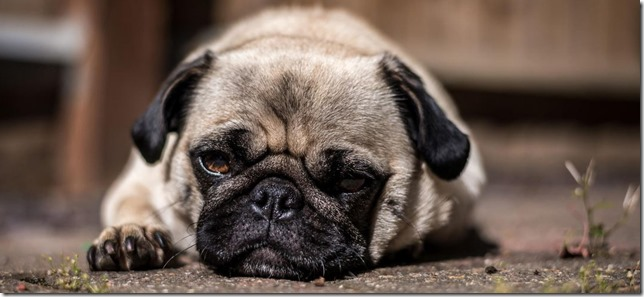 pugs-cropped