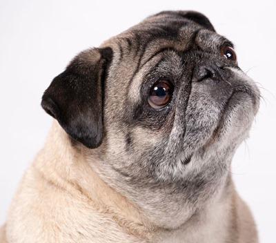 Old-Pug