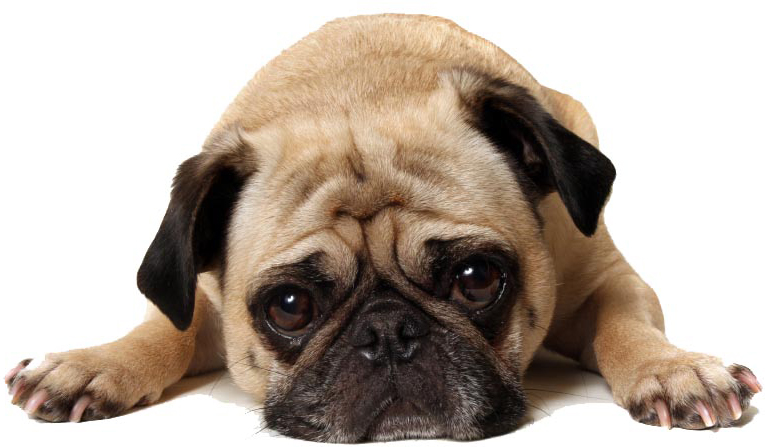 Puzzled-Pug-Dog