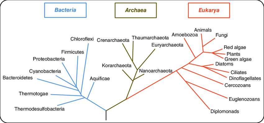 universal-phylogenetic-tree-showing-relationships-between-major-lineages-of-the-three